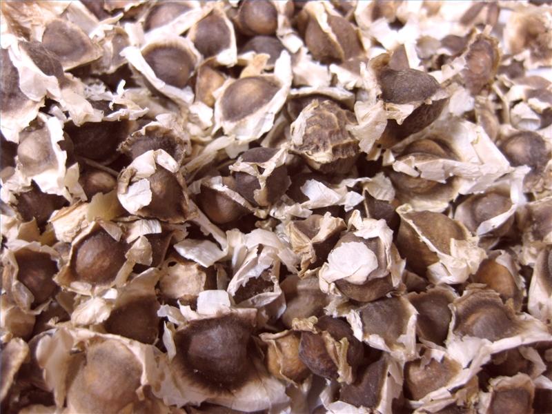 Drumstick Seeds 02
