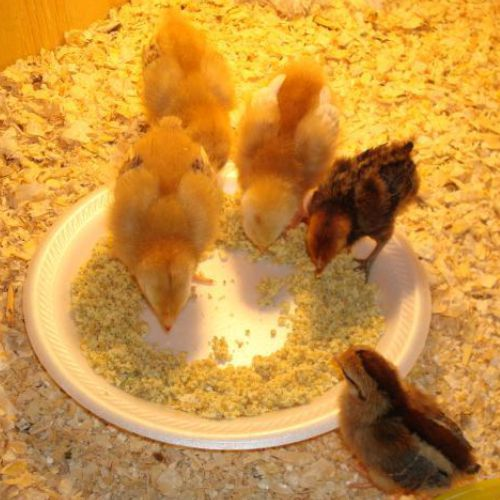 Poultry Meal