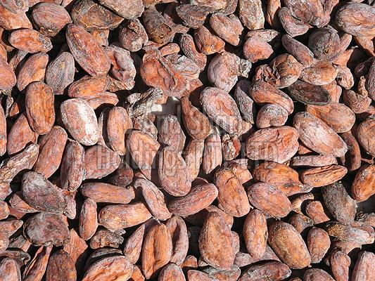 Dried Cocoa Beans Exporter Supplier in South Africa