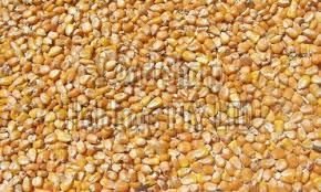Dried Corn Seeds