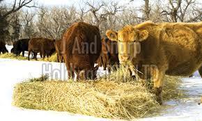 Hay Feed