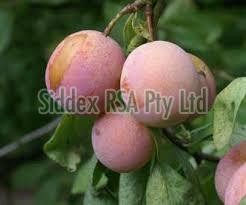 Fresh Ariel plum