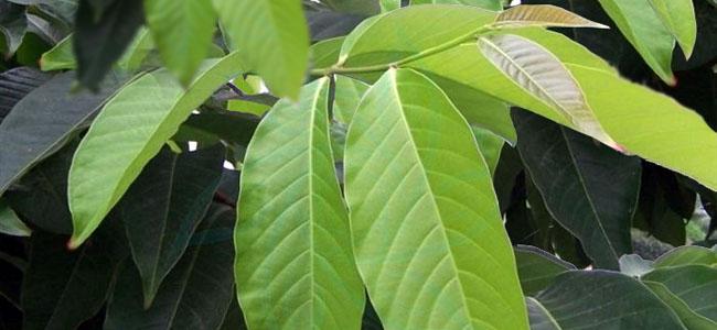 Dry Banaba Leaves 02