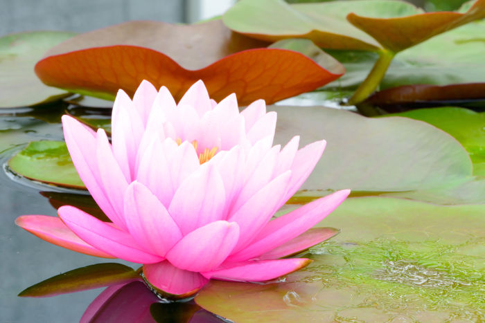 Dry Lotus petals