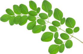 Fresh Drumstick Leaves