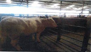 Australian Beef Meat