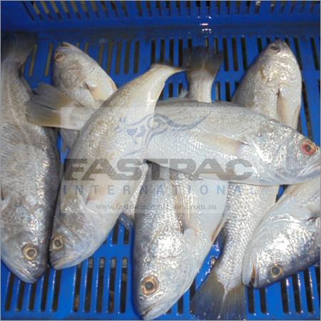 Frozen Cod Fish