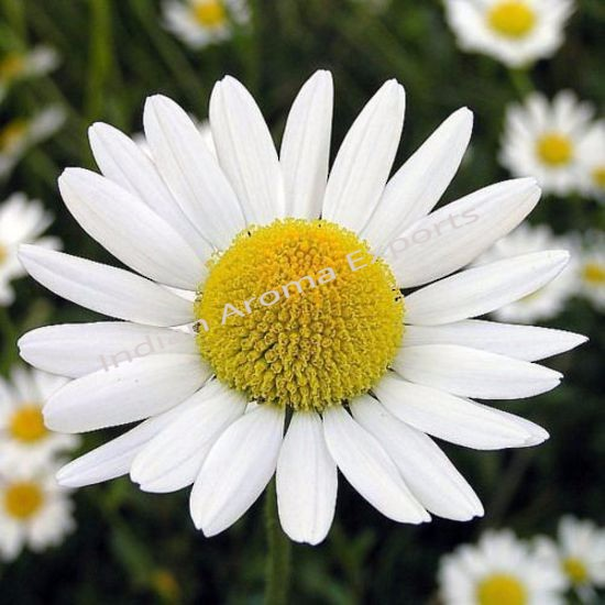 Natural Chamomile Yellow Essential Oil