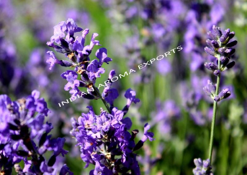 Natural Lavender Essential Oil