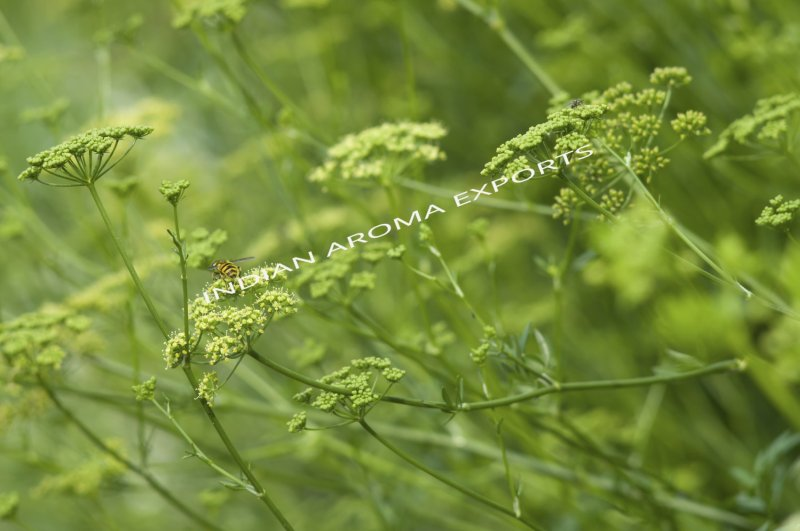 Natural Parsley Essential Oil