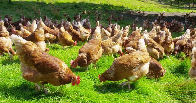 Organic Poultry Farming Service 03
