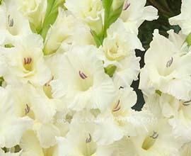 White gladiolus flowers exporterwhite gladiolus flowers supplier white gladiolus flowers mightylinksfo