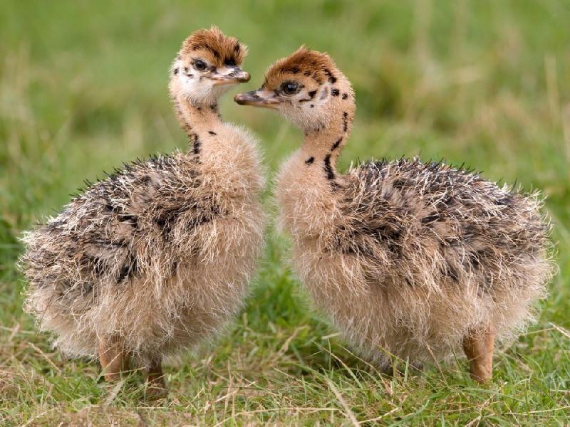 Live Ostrich Chicks