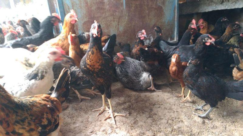 Live Chicken 06