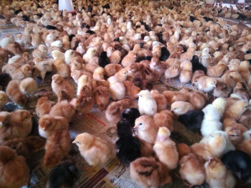 Live Turkey Poult 01