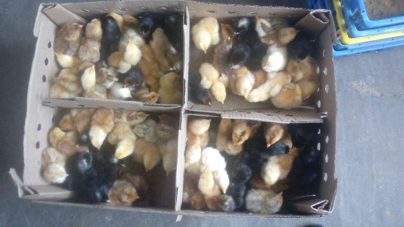 Live Turkey Poult 03