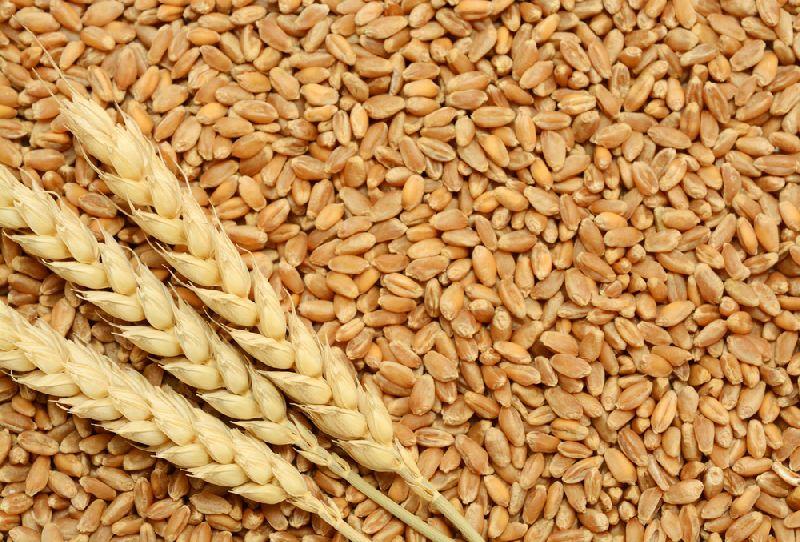 Wheat Seeds 01