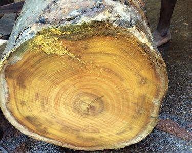 Artocarpus Hirsutus Wood 02