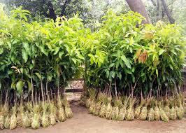 Hybrid Sheesham Plants