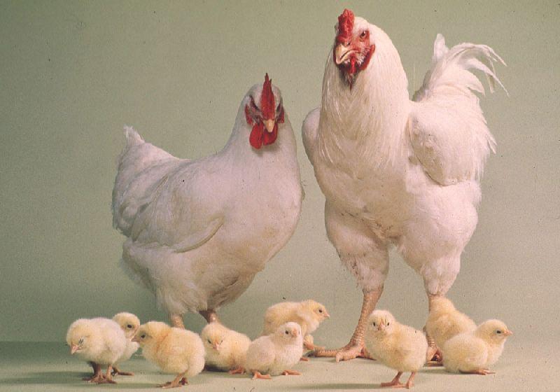 Live Hens