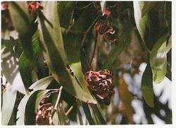 Acacia Auriculiformis Seeds  01