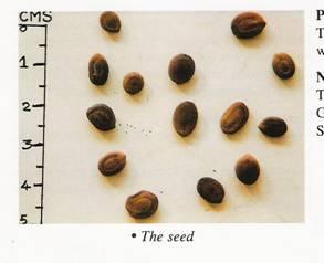 Albizzia Odoratissima Seeds 02