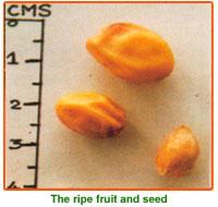 Azadirachta Indica Seeds 02