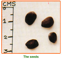 Cassia Siamea Seeds 02