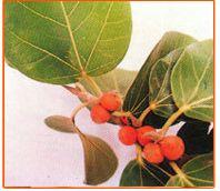 Ficus Benghalensis Seeds 01