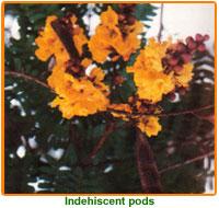 Peltophorum Pterocarpum Seeds 01