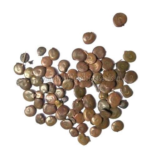 Acacia Leucophloea Seeds