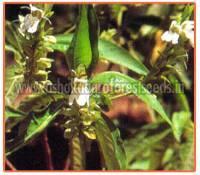 Adhatoda Zeylanica Plant