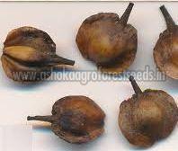 Anogeissus Latifolia Seeds