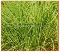 Cymbopogon Flexuosus Plant