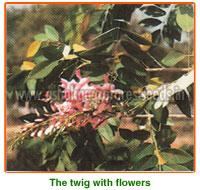 Gliricidia Maculata Seeds
