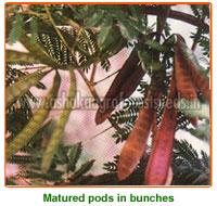 Leucaena Leucocephala Seeds