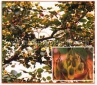 Pterocarpus Santalinus Plant