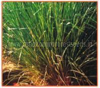 Vetiveria Zizanioides Plant
