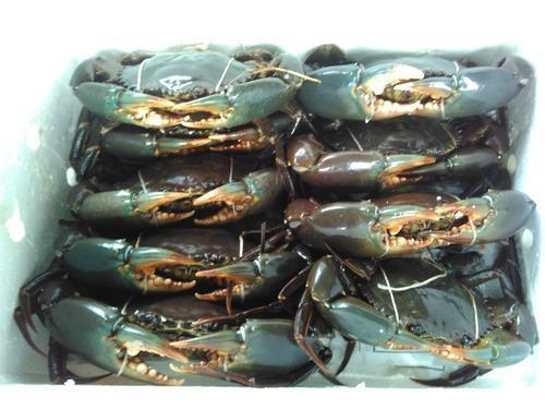 Mud Crab 01