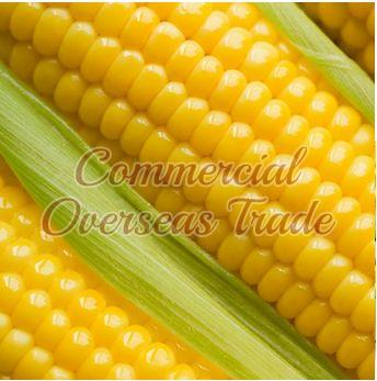 Yellow Maize 02