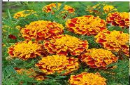 Marigold Flower Seeds 01