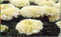 Marigold Flower Seeds 02