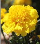 Marigold Flower Seeds 03