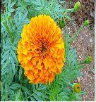 Marigold Flower Seeds 04