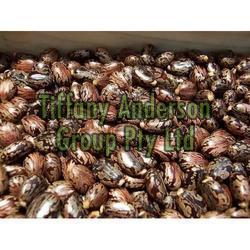 Castor Seeds 03