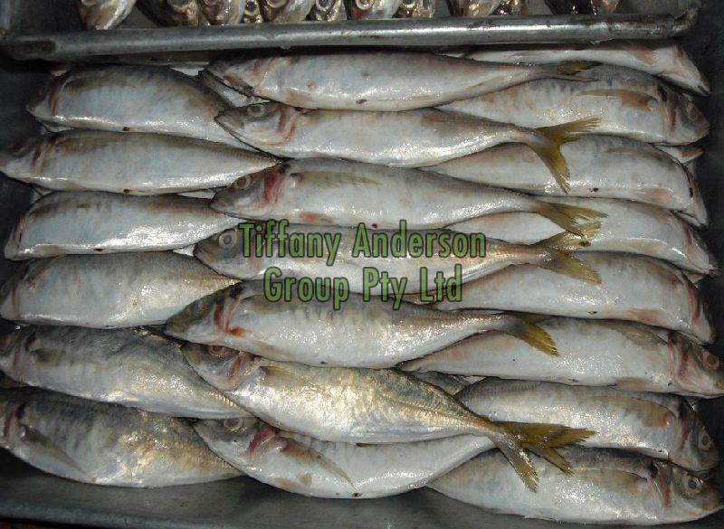 Frozen Horse Mackerel