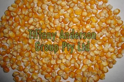 Popcorn Maize