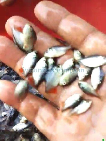 Fish Seed 02