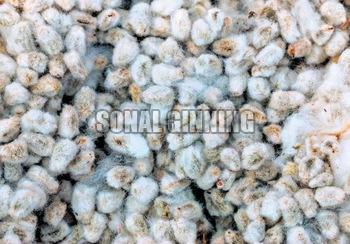 Cotton Seeds 03