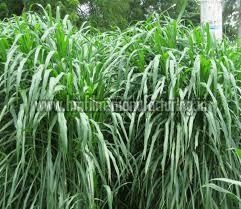 Hybrid Napier Grass